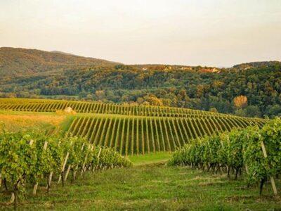Daruvarska vinska cesta